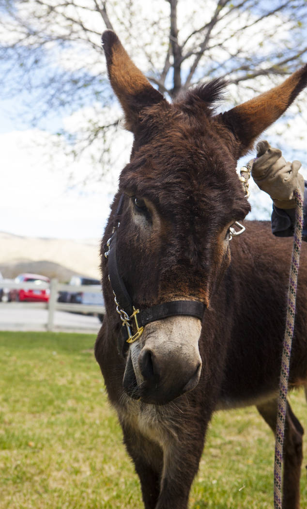 Jackson, a formerly wild Burro who was adopted by the Red Rock Canyon Interpretive Association, during the Mojave Spring Fling Festival at Spring Mountain Ranch State Park on Saturday, April 1, 20 ...