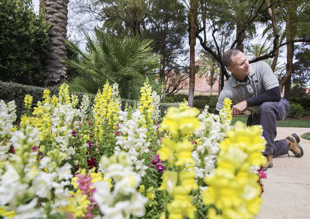 """Horticulture manager Mark Murphy has been with J.W. Marriott in Summerlin for the past 18 years. """"I get to do something different every day,"""" said Murphy. """"I love it.&am ..."""