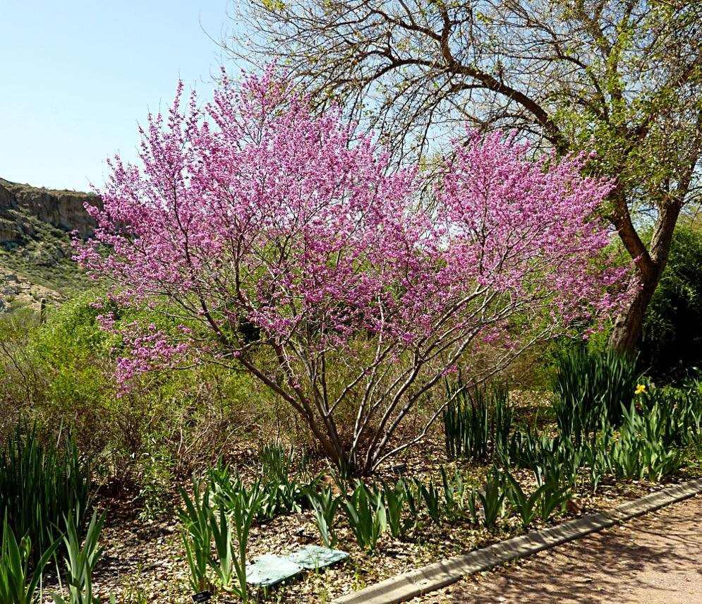 COURTESY Although difficult to find in local nurseries, the western redbud is a better plant for our climate and soils than eastern redbud.
