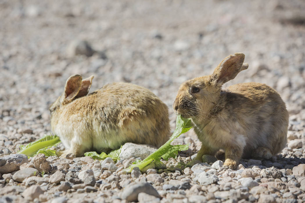 """Feral rabbits eat greens left by volunteers with """"Bunnies Matter"""" on Sunday, April 2, 2017, east of CSN Library, in Las Vegas. Benjamin Hager Las Vegas Review-Journal @benjaminhphoto"""
