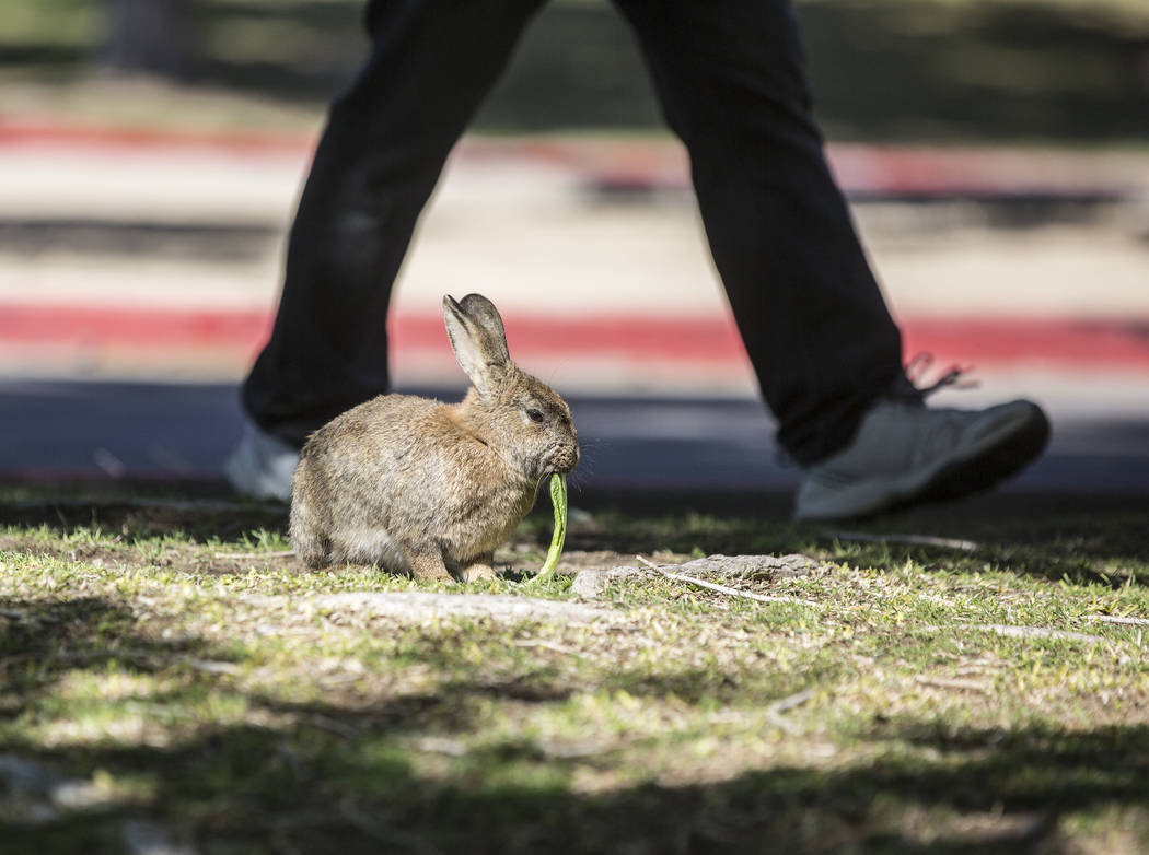 """A pedestrian passes by a feral rabbit eating greens left by volunteers with """"Bunnies Matter"""" on Sunday, April 2, 2017, east of CSN Library, in Las Vegas. Benjamin Hager Las Vegas ..."""