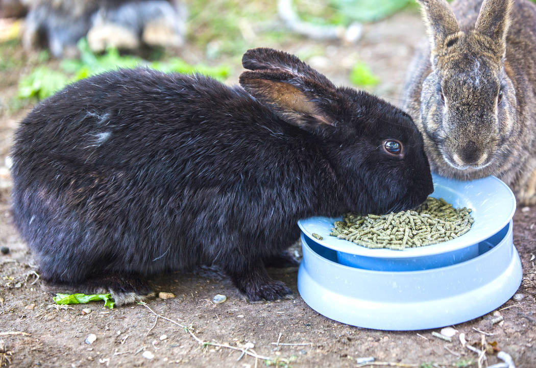 "Feral rabbits eat food left by volunteers with ""Bunnies Matter"" on Sunday, April 2, 2017, east of CSN Library, in Las Vegas. Benjamin Hager Las Vegas Review-Journal @benjaminhphoto"