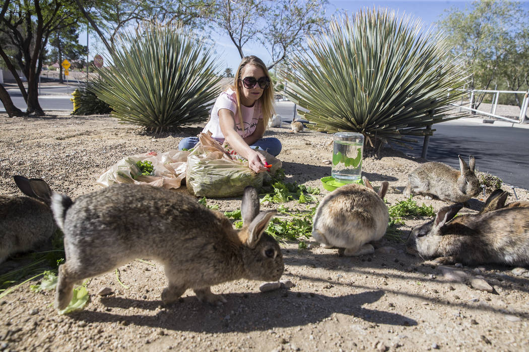 """Stacey Taylor, a volunteer with """"Bunnies Matter,"""" feeds feral rabbits in a field east of CSN Library on Sunday, April 2, 2017, in Las Vegas. Benjamin Hager Las Vegas Review-Journ ..."""