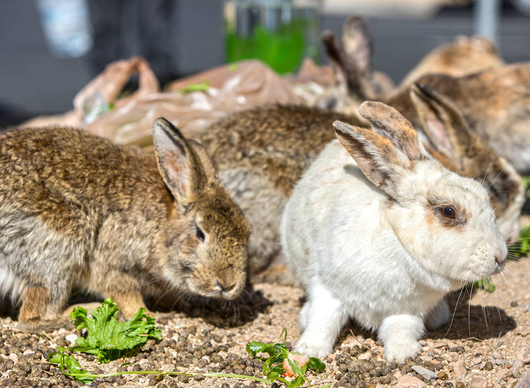 "Feral rabbits eat greens left by volunteers with ""Bunnies Matter"" on Sunday, April 2, 2017, east of CSN Library, in Las Vegas. Benjamin Hager Las Vegas Review-Journal @benjaminhphoto"
