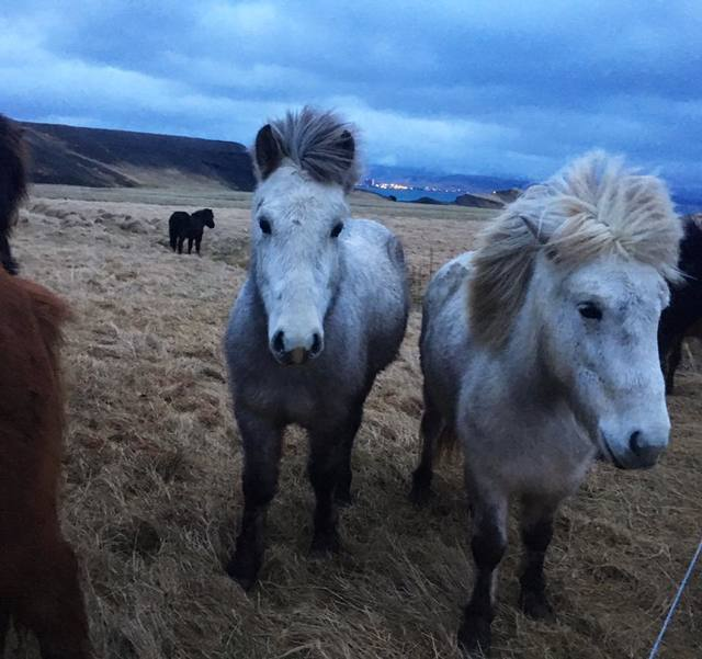 Small Icelandic horses stand near the road of the Golden Circle on December 20, 2017. (Janna Karel/Las Vegas Review-Journal)