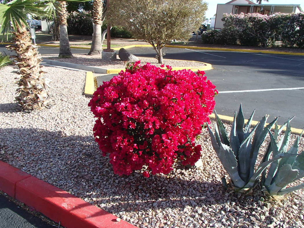 Bougainvillea frequently dies to the ground each winter and resprouts from its crown in the spring.