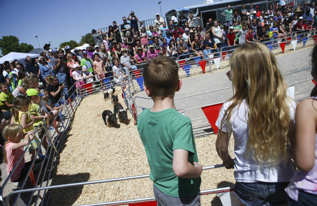 Attendees watch a pig race during the first day of the Clark County Fair and Rodeo in Logandale on Wednesday, April 12, 2017. Chase Stevens Las Vegas Review-Journal @csstevensphoto