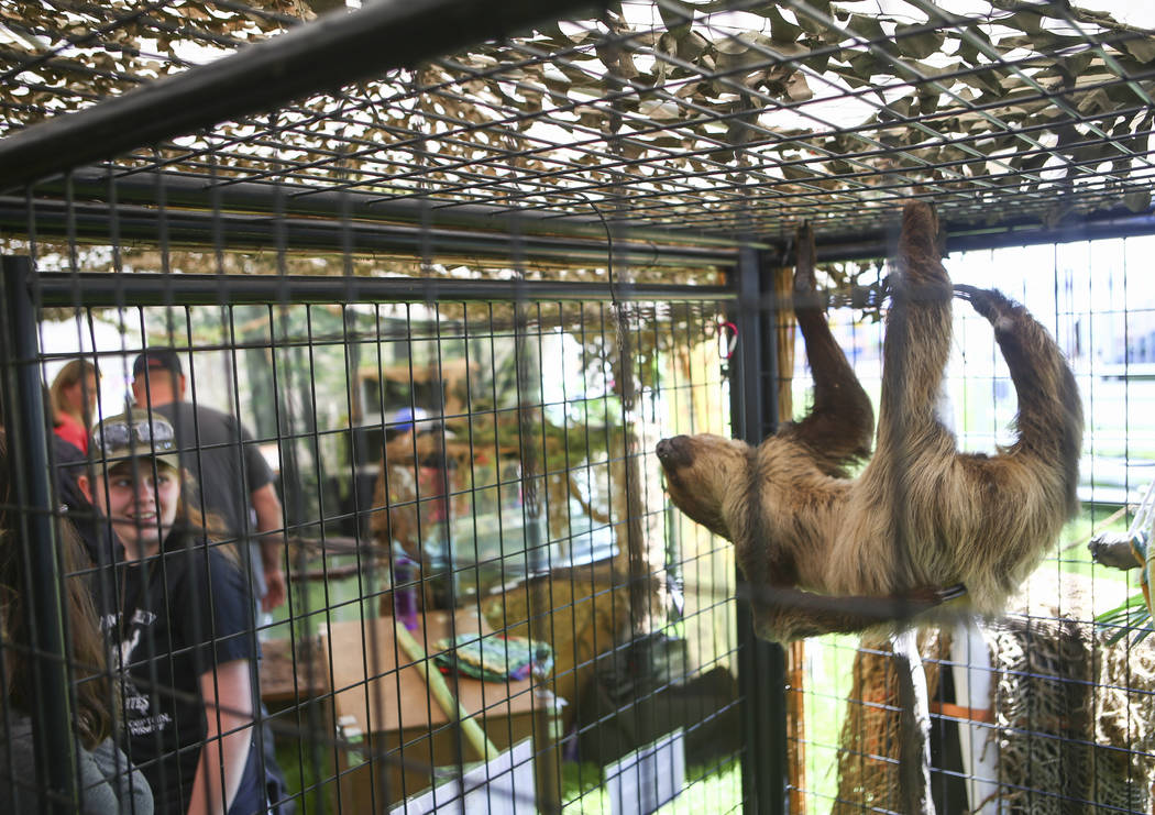 A two-toed sloth hangs out during the first day of the Clark County Fair and Rodeo in Logandale on Wednesday, April 12, 2017. Chase Stevens Las Vegas Review-Journal @csstevensphoto