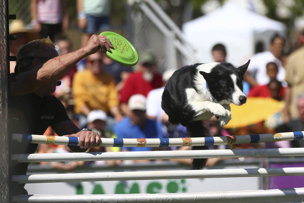 """A dog makes a 48"""" jump while catching a frisbee during the first day of the Clark County Fair and Rodeo in Logandale on Wednesday, April 12, 2017. Chase Stevens Las Vegas Review-Journal @ ..."""