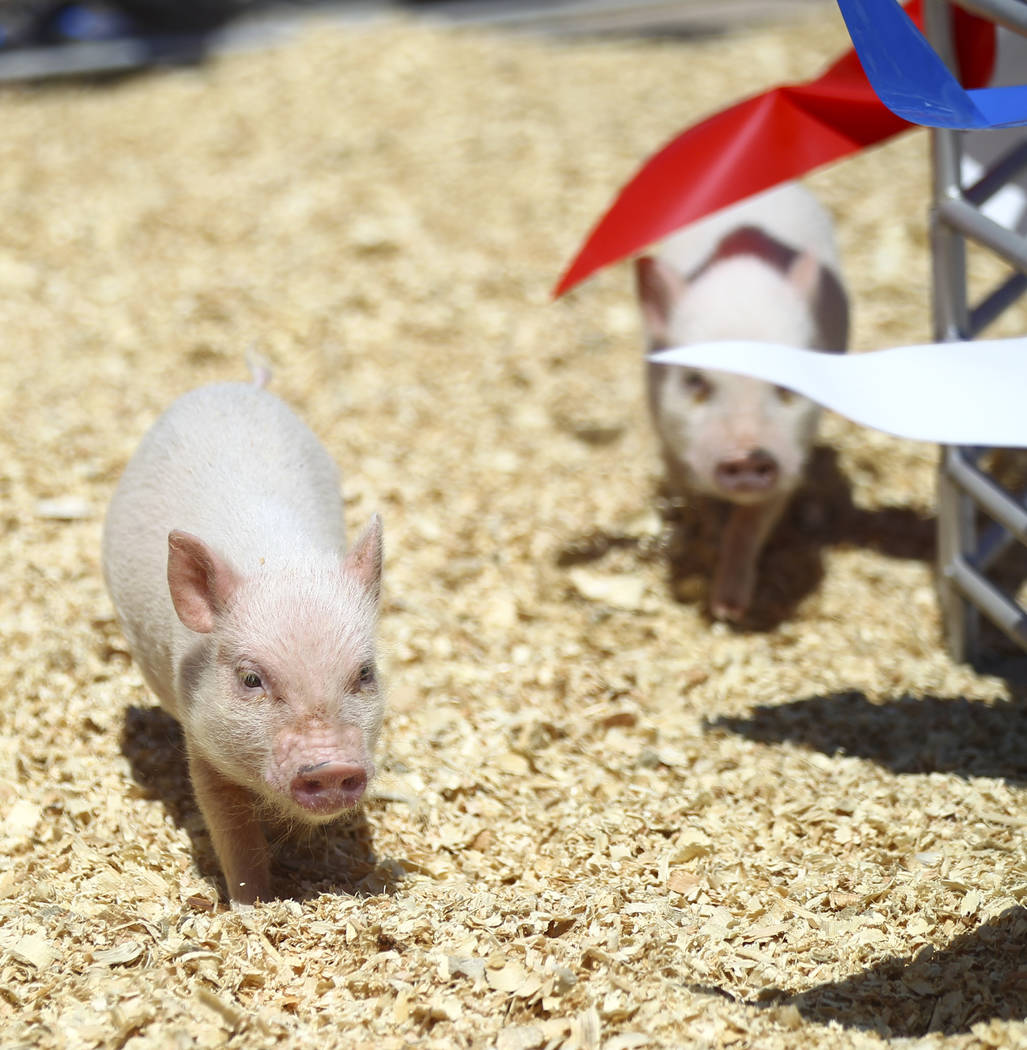 Pigs race during the first day of the Clark County Fair and Rodeo in Logandale on Wednesday, April 12, 2017. Chase Stevens Las Vegas Review-Journal @csstevensphoto
