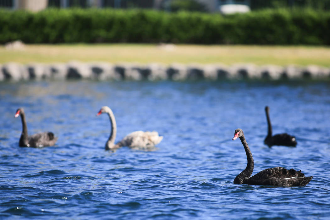 Swans on a lake at Desert Shores in Las Vegas on Friday, April 14, 2017. (Brett Le Blanc Las Vegas Review-Journal) @bleblancphoto