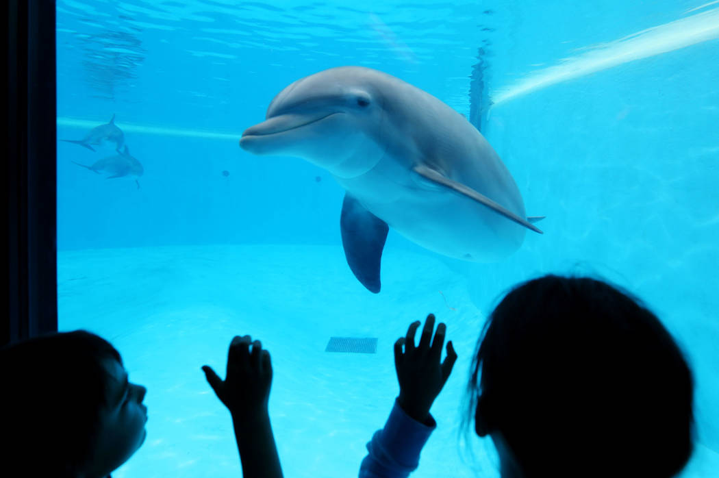 Remy Carlton, 5, left, and Cydney Carlton, 8, gaze at the dolphins at Siegfried & Roy's Secret Garden and Dolphin Habitat at The Mirage in Las Vegas, Monday, April 17, 2017. Elizabeth Brumley  ...