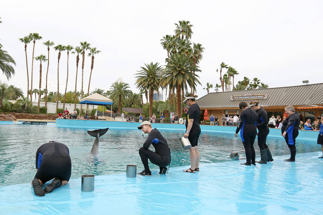 Animal care specialists instructs and feed dolphins at the Siegfried & Roy's Secret Garden and Dolphin Habitat at The Mirage in Las Vegas, Monday, April 17, 2017. Elizabeth Brumley Las Vegas R ...