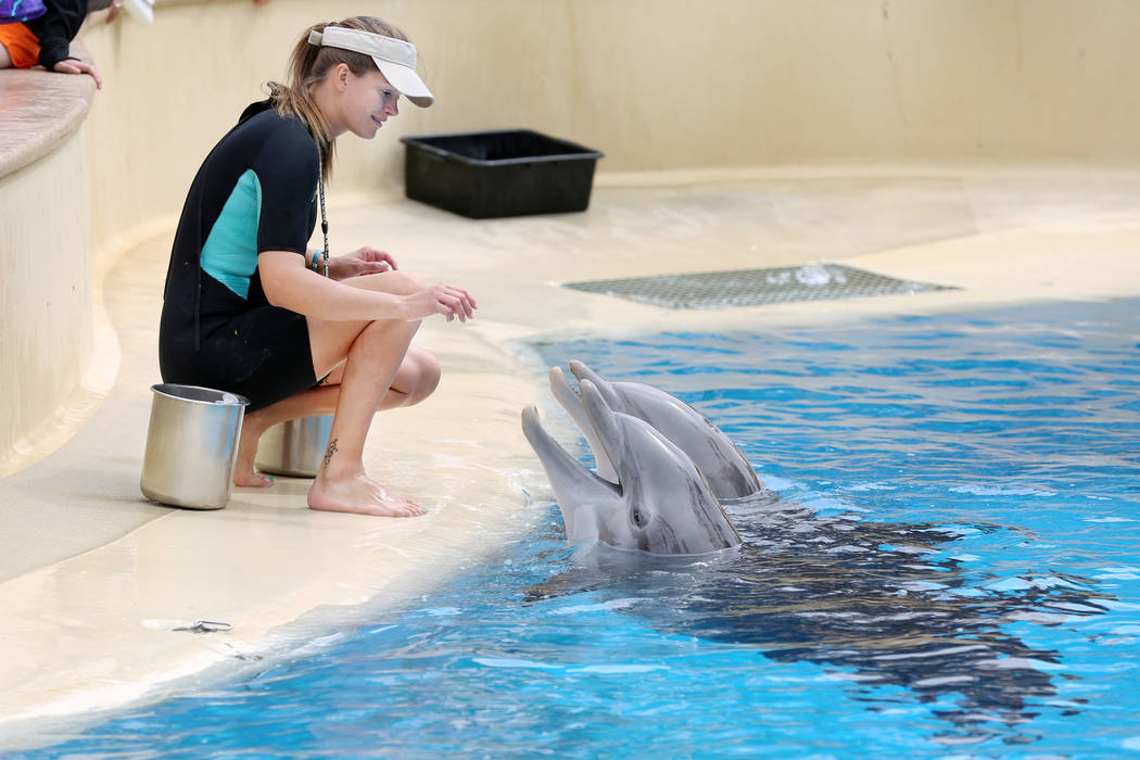 Animal care specialist Amanda Meyers instructs dolphins at the Siegfried & Roy's Secret Garden and Dolphin Habitat at The Mirage in Las Vegas, Monday, April 17, 2017. Elizabeth Brumley Las Veg ...