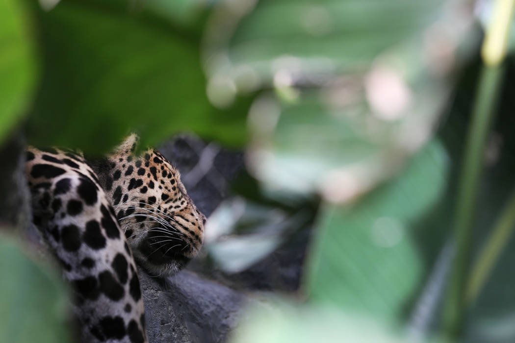 Java the Spotted Leopard sleeps in his habitat at the Siegfried & Roy's Secret Garden and Dolphin Habitat at The Mirage in Las Vegas, Monday, April 17, 2017. Elizabeth Brumley Las Vegas Review ...