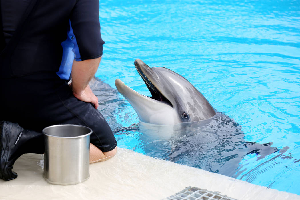 Dolphins are fed by animal care specialists at Siegfried & Roy's Secret Garden and Dolphin Habitat at The Mirage in Las Vegas, Monday, April 17, 2017. Elizabeth Brumley Las Vegas Review-Journa ...