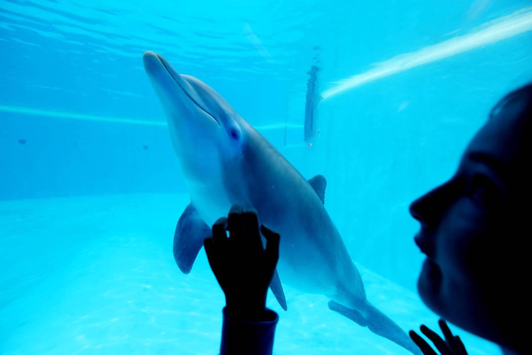 Siegfried & Roy's Secret Garden and Dolphin Habitat at The Mirage in Las Vegas, Monday, April 17, 2017. Elizabeth Brumley Las Vegas Review-Journal @EliPagePhoto