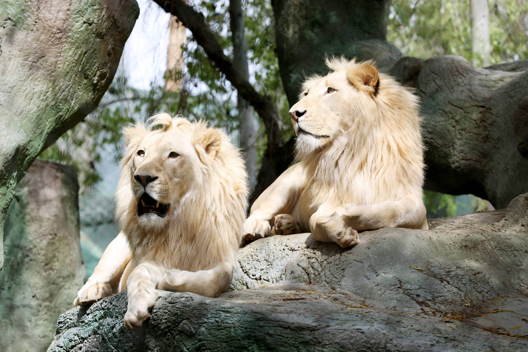 White Lions of Timbavati, Freedom, left, and Timba-Masai rest at the Siegfried & Roy's Secret Garden and Dolphin Habitat at The Mirage in Las Vegas, Monday, April 17, 2017. Elizabeth Brumley L ...