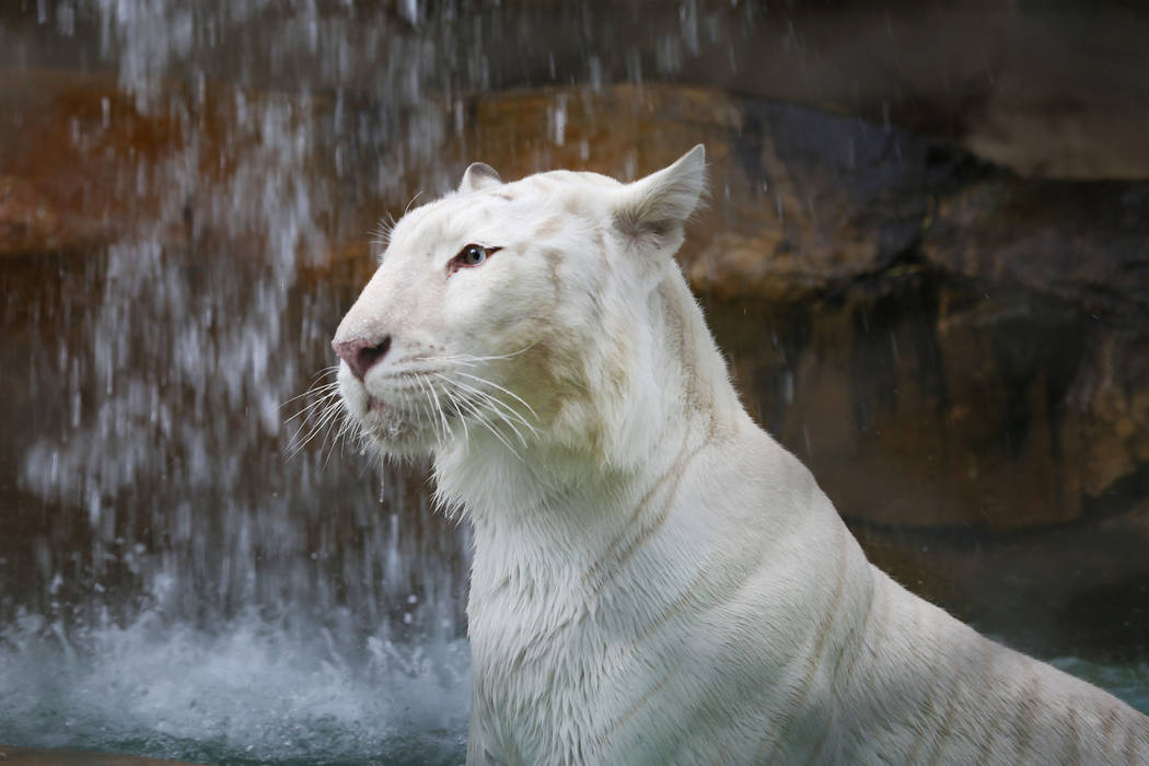 Indira the Snow White Bengal Tiger at the Siegfried & Roy's Secret Garden and Dolphin Habitat at The Mirage in Las Vegas, Monday, April 17, 2017. Elizabeth Brumley Las Vegas Review-Journal @El ...