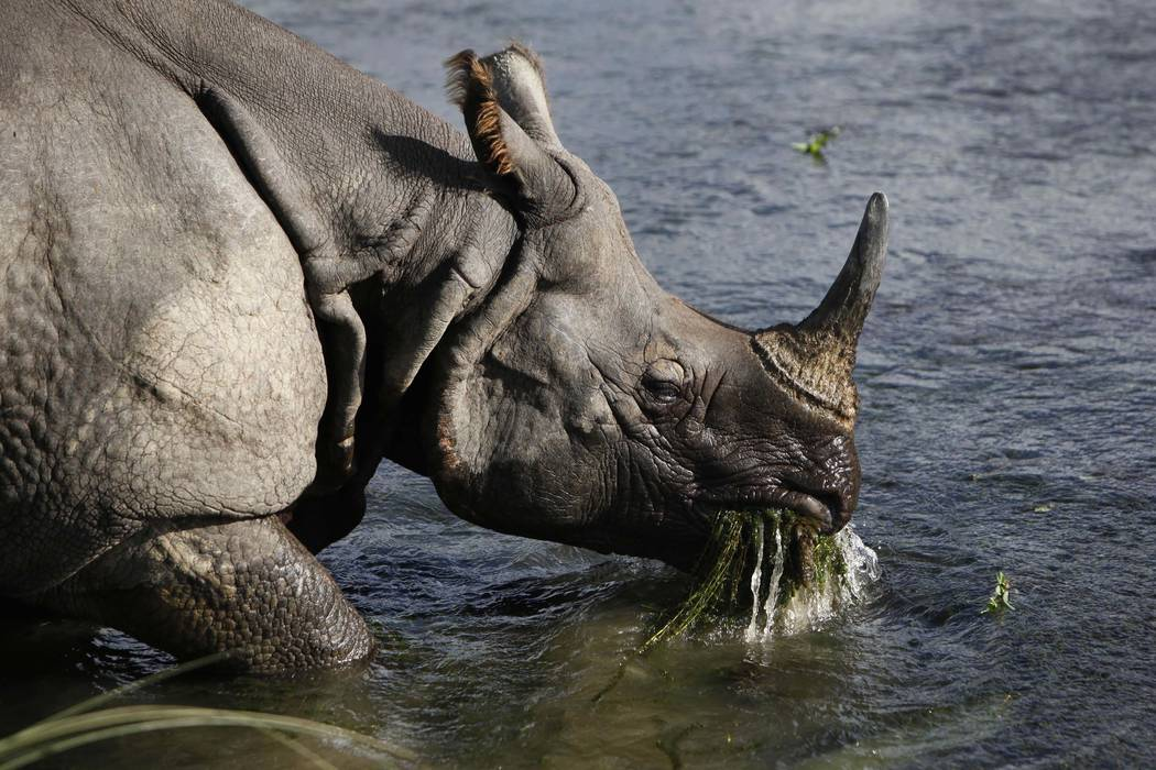 A greater one horned rhino eats water plants from a river in Janakauli community forest bordering Chitwan National Park, Nepal. (Gemunu Amarasinghe/AP, file)