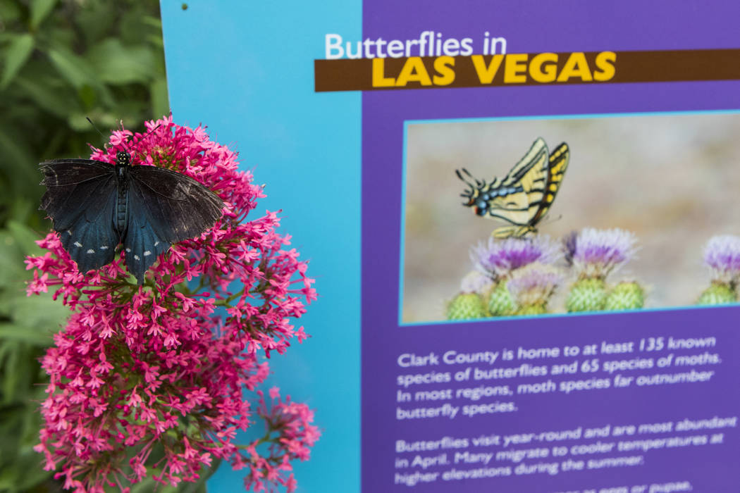 A Pipevine Swallowtail butterfly at the Springs Preserve Butterfly Habitat in Las Vegas on Monday, April 17, 2017. Miranda Alam Las Vegas Review-Journal @miranda_alam