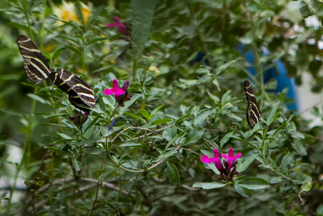 A cluster of Zebra Longwing butterflies at the Springs Preserve Butterfly Habitat in Las Vegas on Monday, April 17, 2017. Miranda Alam Las Vegas Review-Journal @miranda_alam