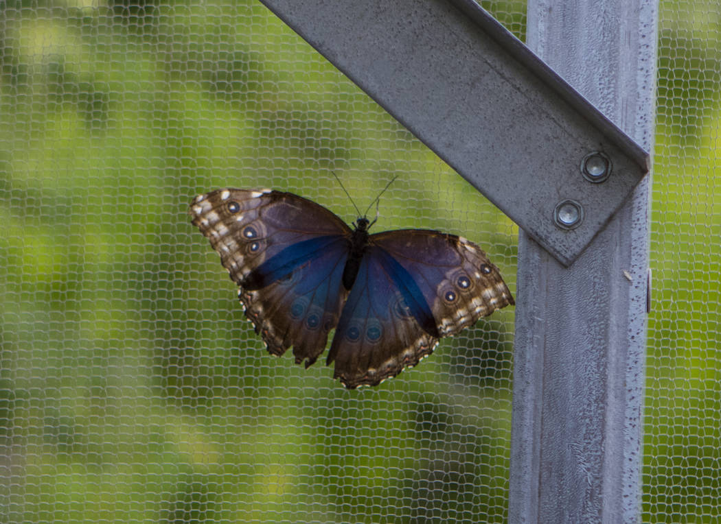 A Blue Morpho butterfly at the Springs Preserve Butterfly Habitat in Las Vegas on Monday, April 17, 2017. Miranda Alam Las Vegas Review-Journal @miranda_alam