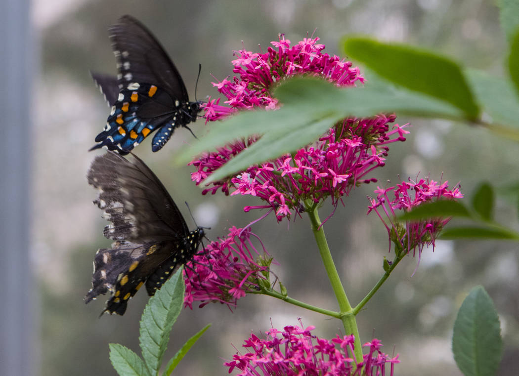 Pipevine Swallowtail butterflies at the Springs Preserve Butterfly Habitat in Las Vegas on Monday, April 17, 2017. Miranda Alam Las Vegas Review-Journal @miranda_alam