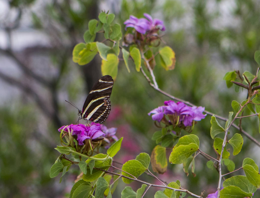 A Zebra Longwing butterfly at the Springs Preserve Butterfly Habitat in Las Vegas on Monday, April 17, 2017. Miranda Alam Las Vegas Review-Journal @miranda_alam