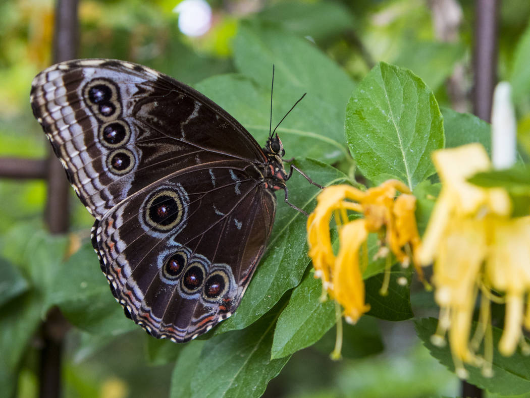 A Blue Morpho at the Springs Preserve Butterfly Habitat in Las Vegas on Monday, April 17, 2017. Miranda Alam Las Vegas Review-Journal @miranda_alam