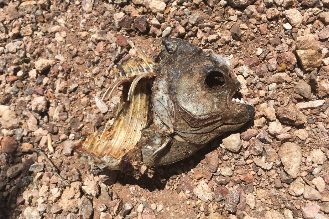 The carcass of what is believed to be a piranha on the shore at one of Boulder City's Veterans Memorial Park ponds. (Stephen Anthony Symes)
