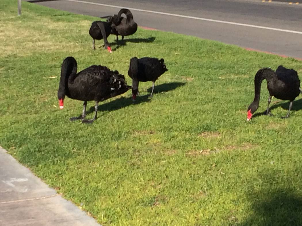 Black swans enjoy the balmy weather April 18, 2018 at Desert Shores. Someone shot one of the swans with an arrow and it had to be euthanized. Another was found dead earlier this year with two hole ...