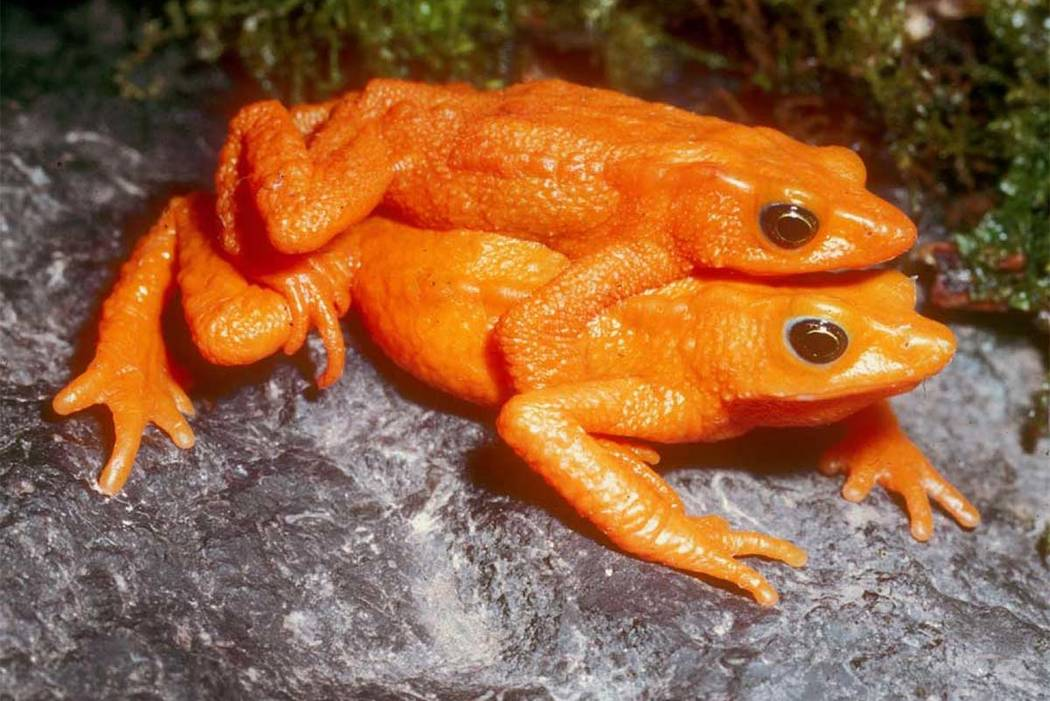 The scarlet harlequin frog was last seen in 1990. (Enrique La Marca via Global Wildlife Conservation)