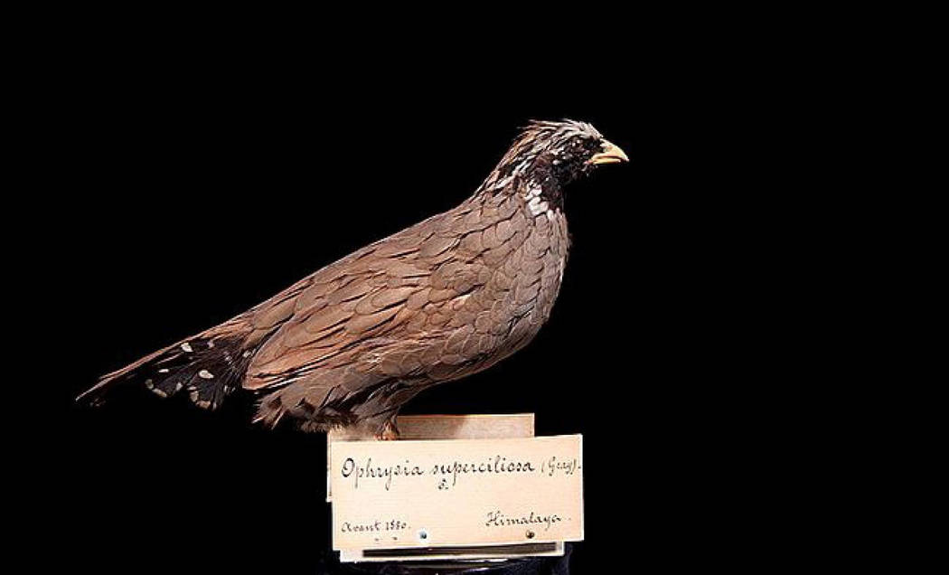 The Himalayan Quail is the longest-missing species on the list. It was last seen in 1876. (National Museum of Natural History Naturalis via Global Wildlife Conservation)