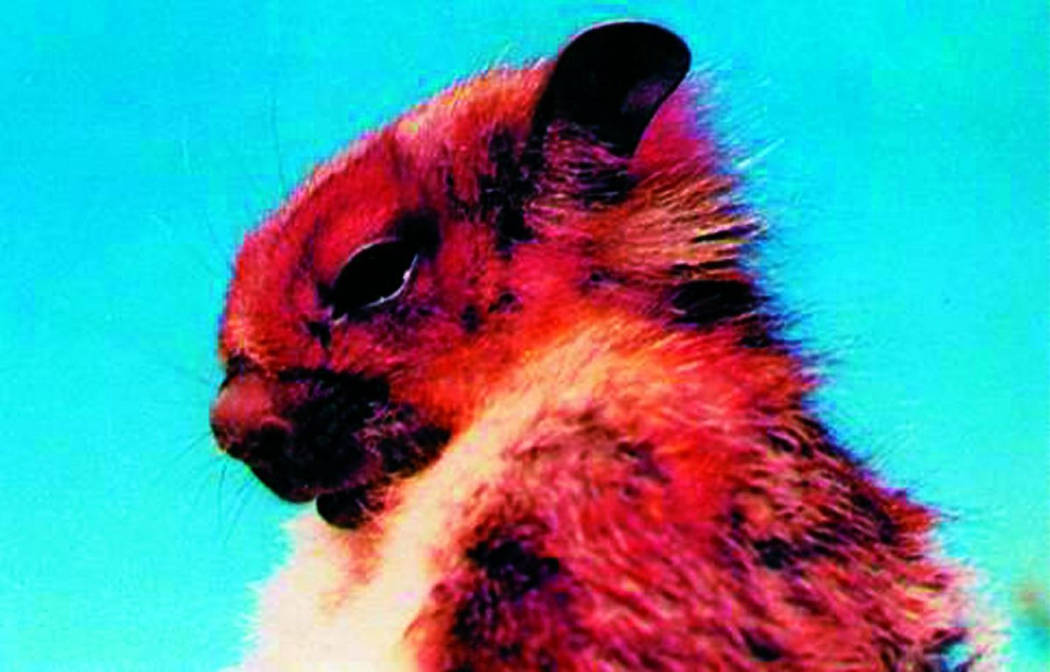 The Namdapha flying squirrel has been missing for 36 years. (Creative Commons)