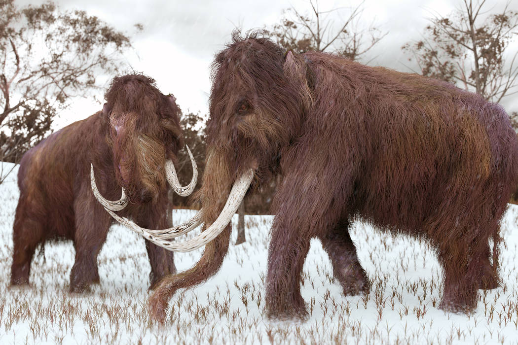 A 3-D illustration of two Woolly Mammoths grazing in a snow-covered grassy field during the ice age (45,000 years ago). (Thinkstock)