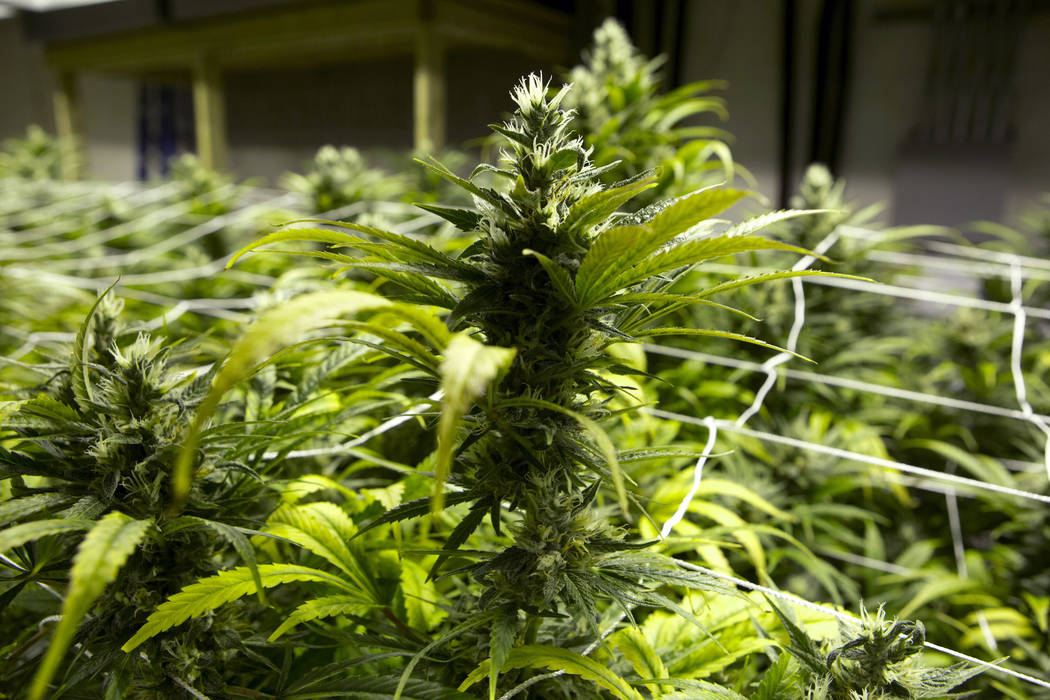 FILE - This Jan. 26, 2013 file photo taken at a grow house in Denver shows marijuana plants ready to be harvested. Colorado is set to outlaw marijuana growing co-ops after the state Senate unanimo ...