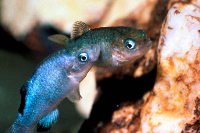 Two endangered Devils Hole pupfish swim in a water-filled cavern in Nye County that represents the species' entire native habitat. U.S. Fish and Wildlife Service