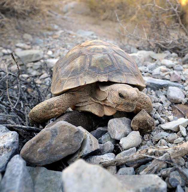 A desert tortoise crawls free after being released into the desert near Primm on Oct. 10, 2014. The Mojave desert tortoise is one of 40 threatended or endangered species found in Nevada. Las Vegas ...