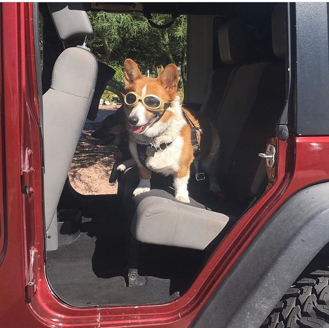 COURTESY Corgis Scooter and Chloe travel in style in their Jeep Wrangler during the Chapman Chrysler Jeep Pamper Your Pet Day on Oct. 15.