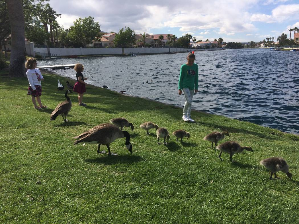 "Three area children - Aviana, 4,  in white top,  Olivia, 3,  in black top and, far right, Lina, 10,  in green -  say ""Hi"" to the ducks at Desert Shores April 28, 2017.  They were there with their  ..."
