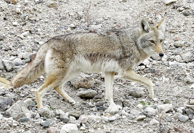 A coyote wanders at Lake Mead on Tuesday, Jan. 12, 2017.  (Bizuayehu Tesfaye/Las Vegas Review-Journal)@bizutesfaye