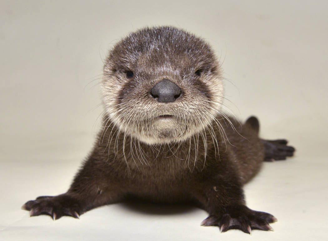 A rescued otter at the Adobe Mountain Wildlife Center in Phoenix, Arizona on April 20, 2017. (George Andrejko/Arizona Game and Fish Department via AP)