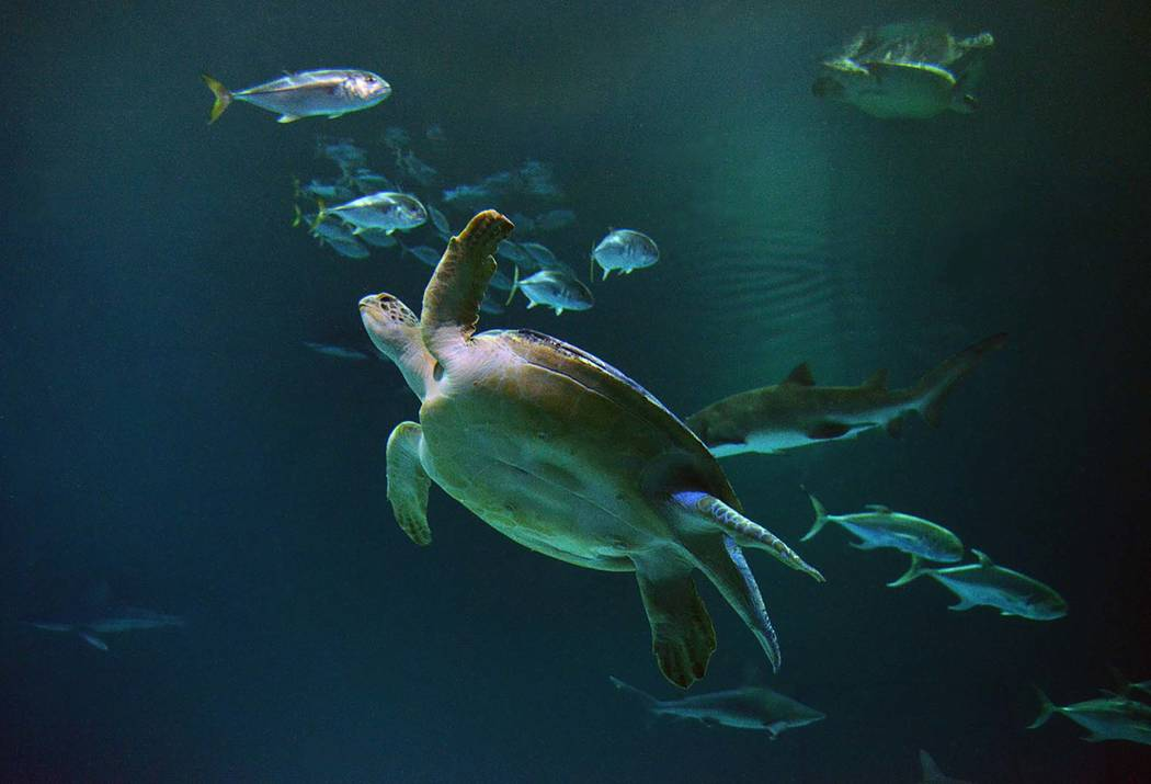 OD the sea turtle at Shark Reef Aquarium at Mandalay Bay.  (Special to View, Darrin Bush)