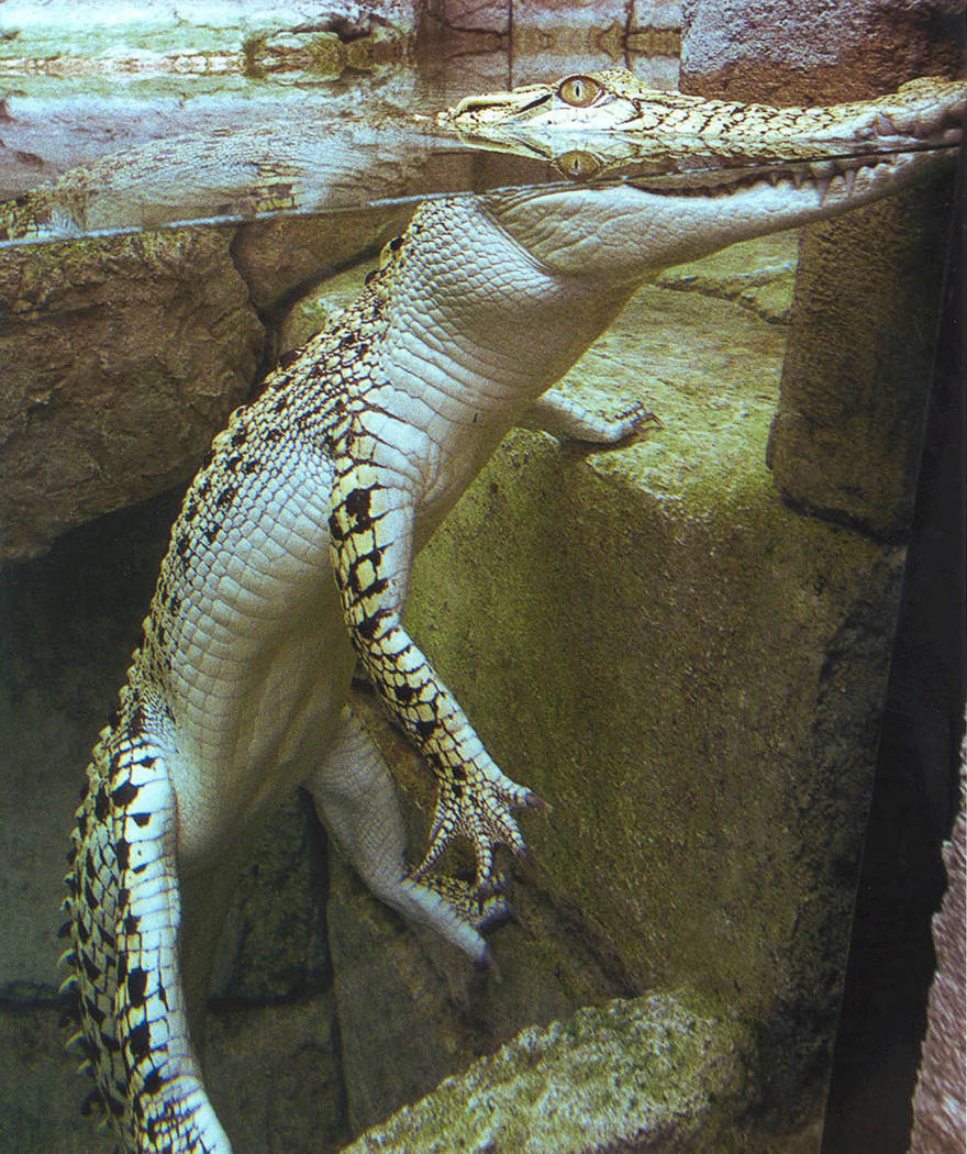 A golden crocodile at Shark Reef Aquarium at Mandalay Bay. The aquarium specialiazes in predators.  (Special to View)