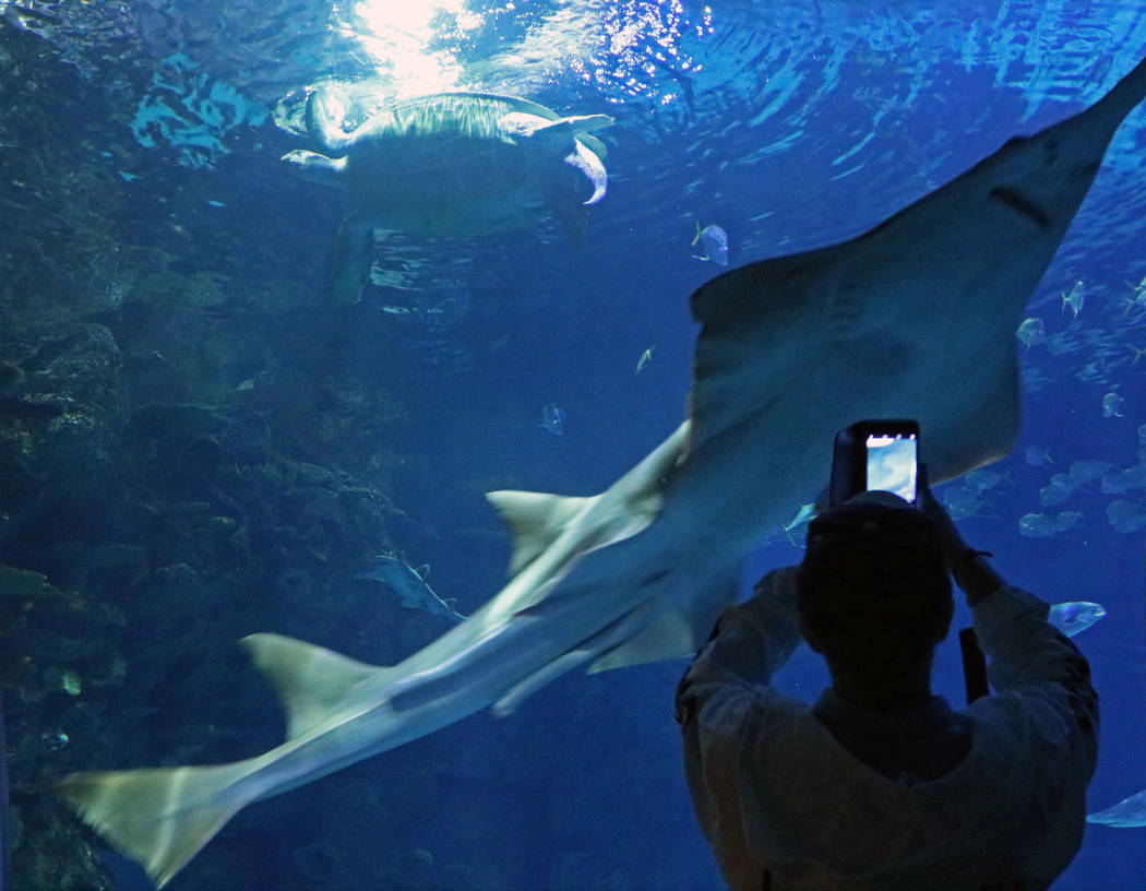 Saw fish at Mandalay Bay's Shark Reef Aquarium, Tuesday, May 9, 2017. (Gabriella Benavidez/Las Vegas Review-Journal) @latina_ish