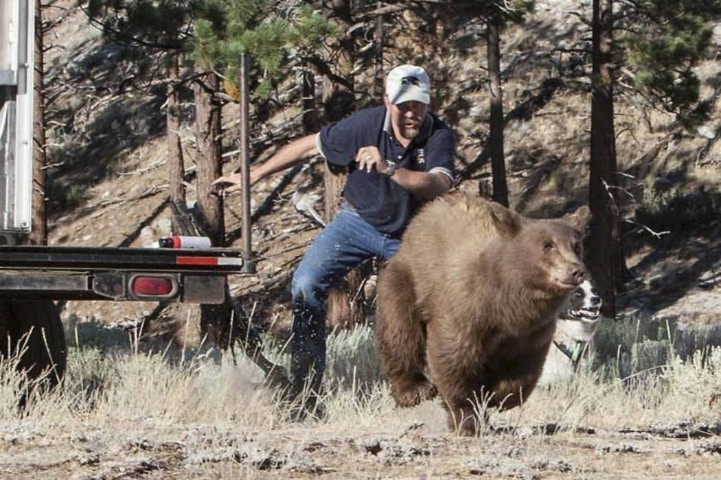 Carl Lackey, a longtime Nevada Department of Wildlife biologist, and a dog named ''Rooster'' chase after a California black bear Aug. 9, 2013, after it was captured and re-released to the wild in  ...