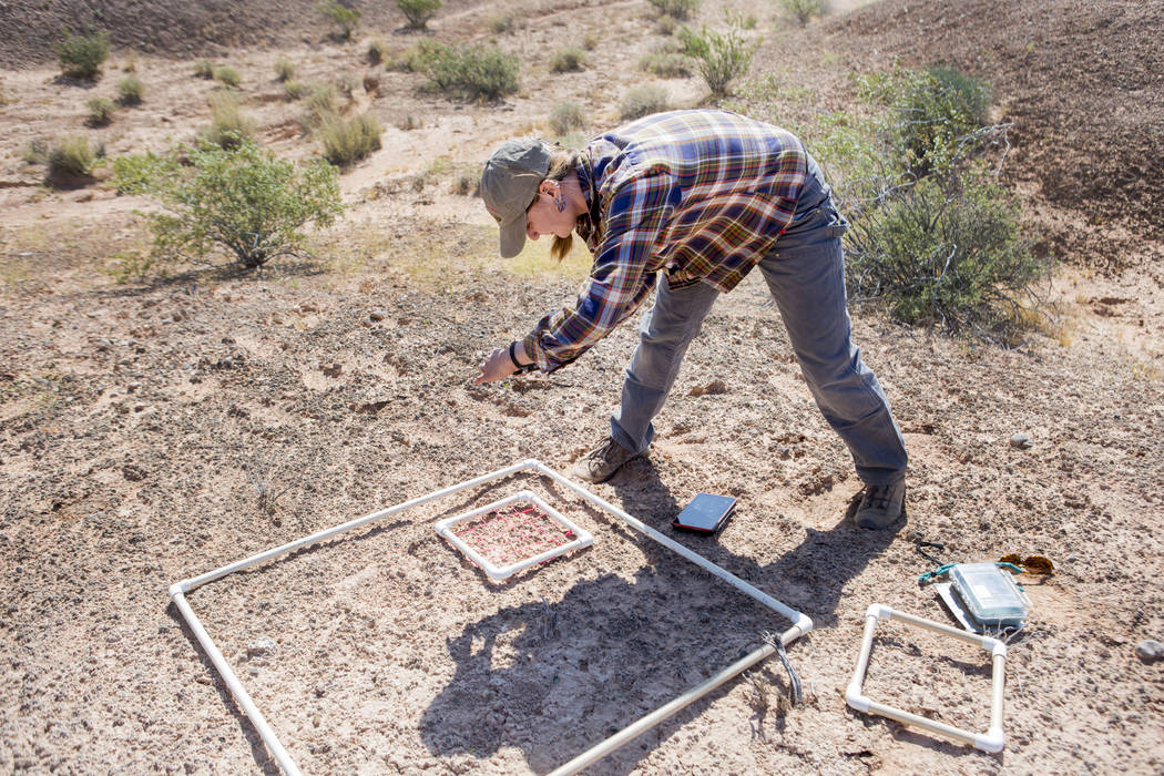 UNLV restoration ecologist Lindsay Chiquoine photographs a research site at the northern end of Lake Mead National Recreation Area, Tuesday, May 9, 2017. Elizabeth Brumley Las Vegas Review-Journal
