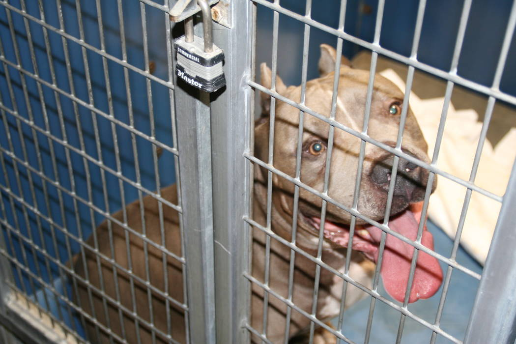A male pit bull mix was put down on Tuesday, May 9, 2017 after killing a 6-month-old girl in Las Vegas. (Clark County)