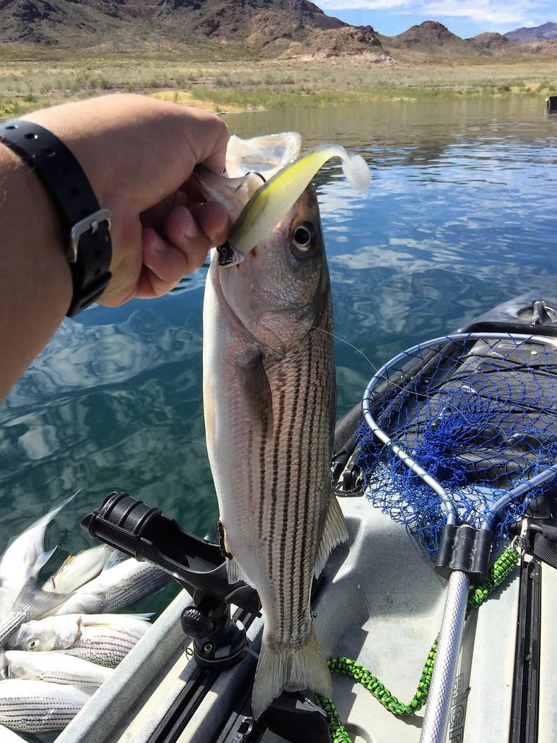 This taco-sized striped bass took a Sexy Shad swimbait recently at Lake Mead. (Rick Welter)